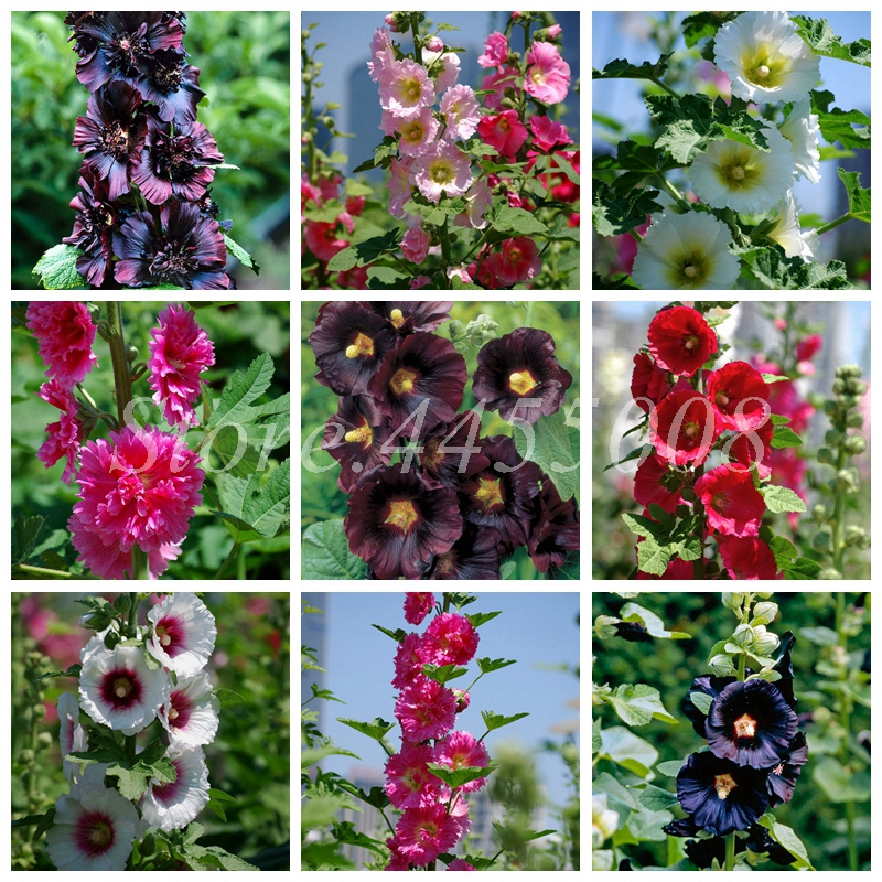 Real 500 Pcs/ Lot Mixed Hollyhock Seeds Bonsai Country Romance Flowering DIY Home Garden Planting Factory Whole Sale (Mixed Colors)