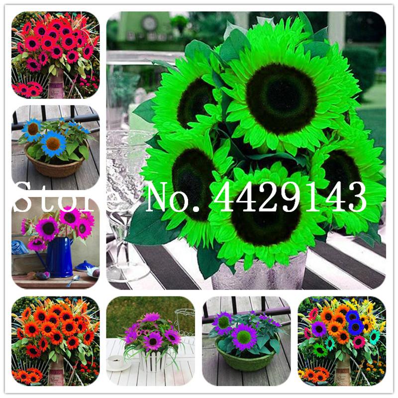 100 Pcs Seeds Mini Sunflower Bonsai Flower, Rare Color Sunflower Flower, Indoor Bonsai Flower Plant for Home Garden Ornamental Plants