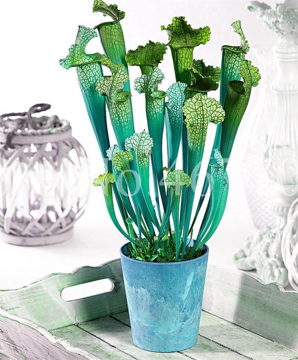 DHgate coupon: 500 Pcs Venus Fly trap Bonsai seeds indoor plant in pot garden decoration plant Insectivorous Plant gift Bonsai