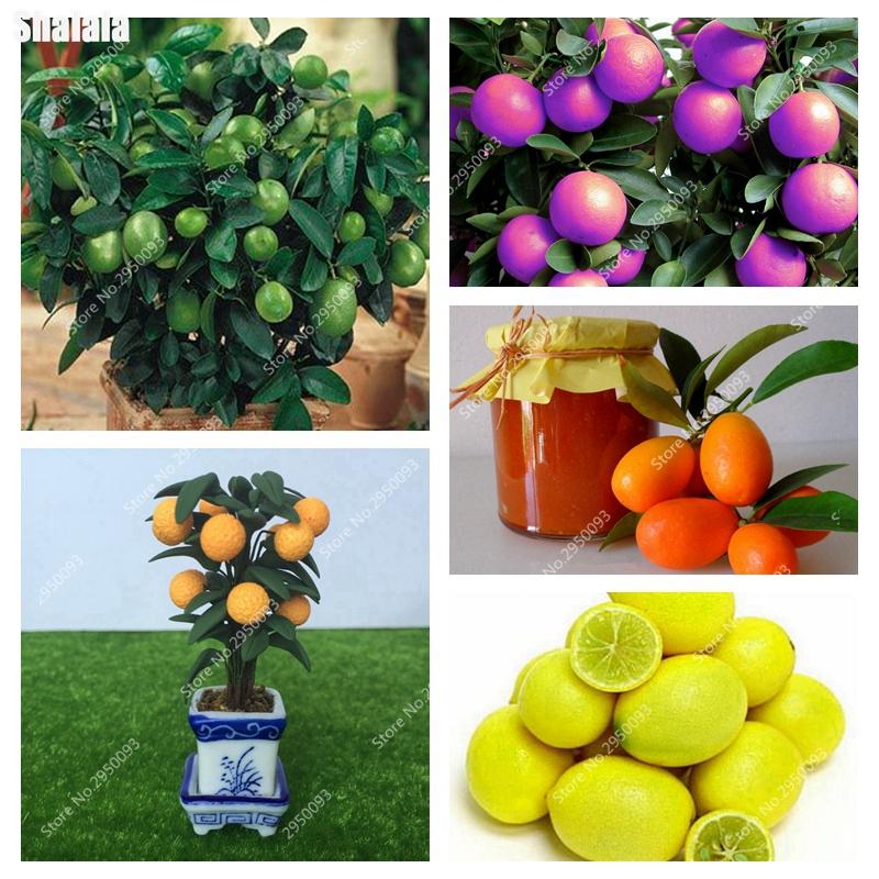 DHgate coupon: 50 pcs/ bag Seeds Dwarf Kumquat Balcony Patio Bonsai Juicy Orange Fruit Tree Plant Outdoor Sweet Citrus Planta for Flower Pot Planter