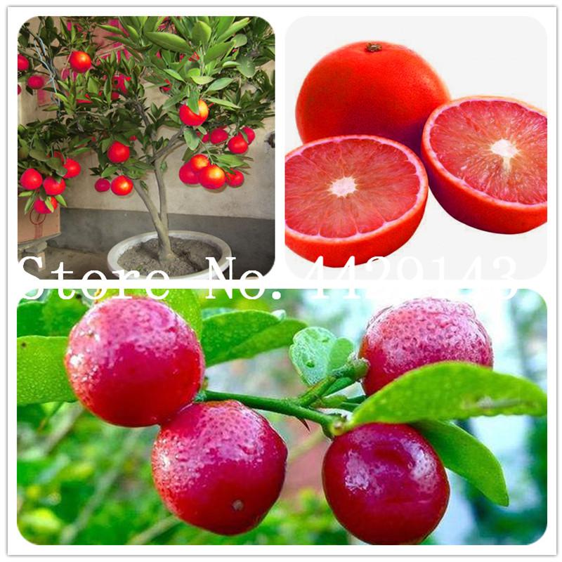 10pcs Organico Albero di Limone Semi di alberi da frutto Vitale /& FRESH spedizione gratuita nel Regno Unito