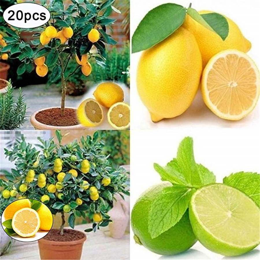 Arbre Fruitier En Pot Interieur 20x lemon tree graines heirloom jardin arbre extérieur fruit intérieur rare  organic seed