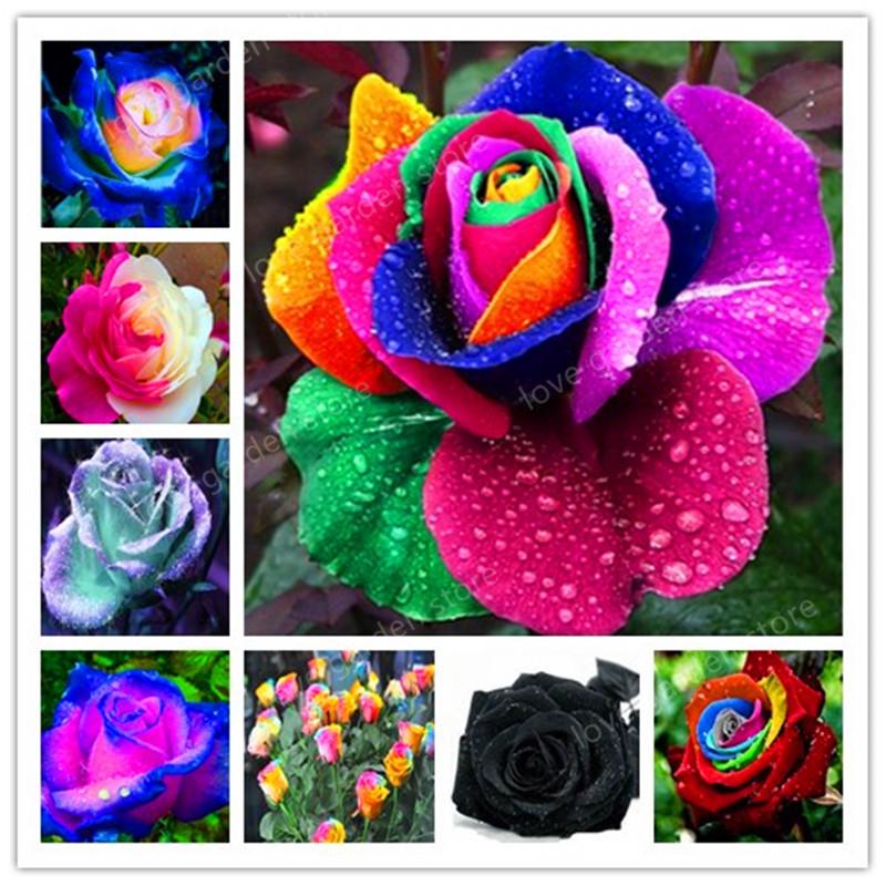 DHgate coupon: 100 pcs Rare Holland Rainbow Rose Flower bonsai Home Garden Rare Flower plant rainbow Rose flores