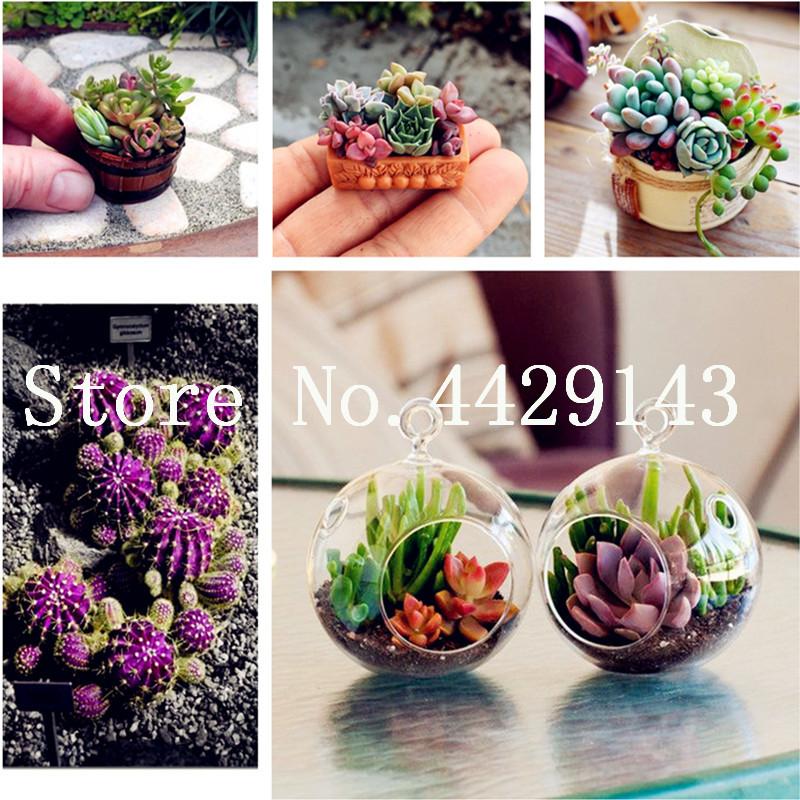 DHgate coupon: 100 pcs Mix Echeveria Species Succulents bonsai seeds Indoor Plants Flower Gorgeous Array Of Colors bonsai Bonsai Flower For Garden and Home