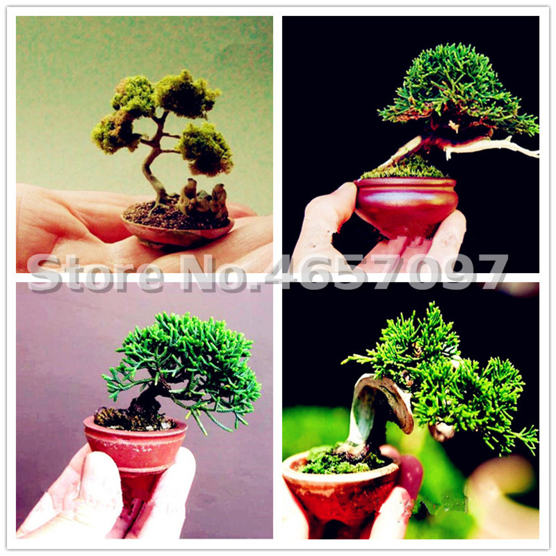 Wholesale Bonsai Tree In Bulk From The Best Bonsai Tree Wholesalers Dhgate Mobile