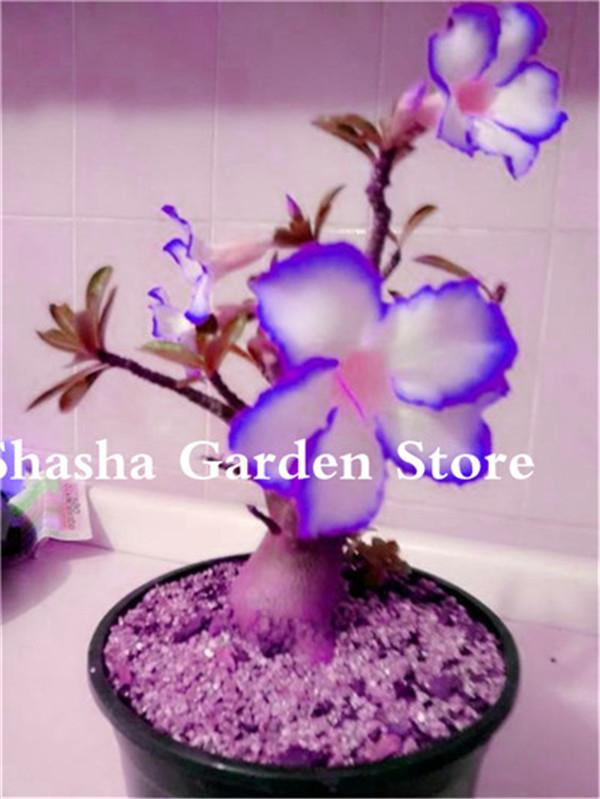 MINI-deserti Rose sorpresa colore Adenium Obesum