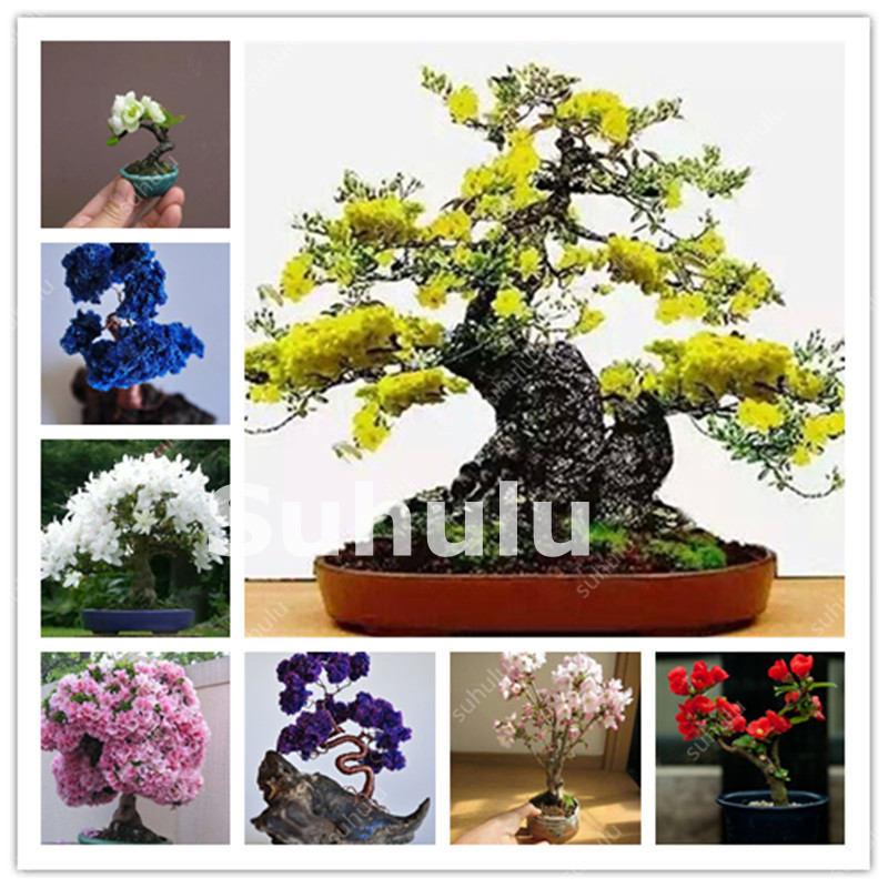 Japanese Cherry Blossom Bonsai Online Wholesale Distributors Japanese Cherry Blossom Bonsai For Sale Dhgate Mobile